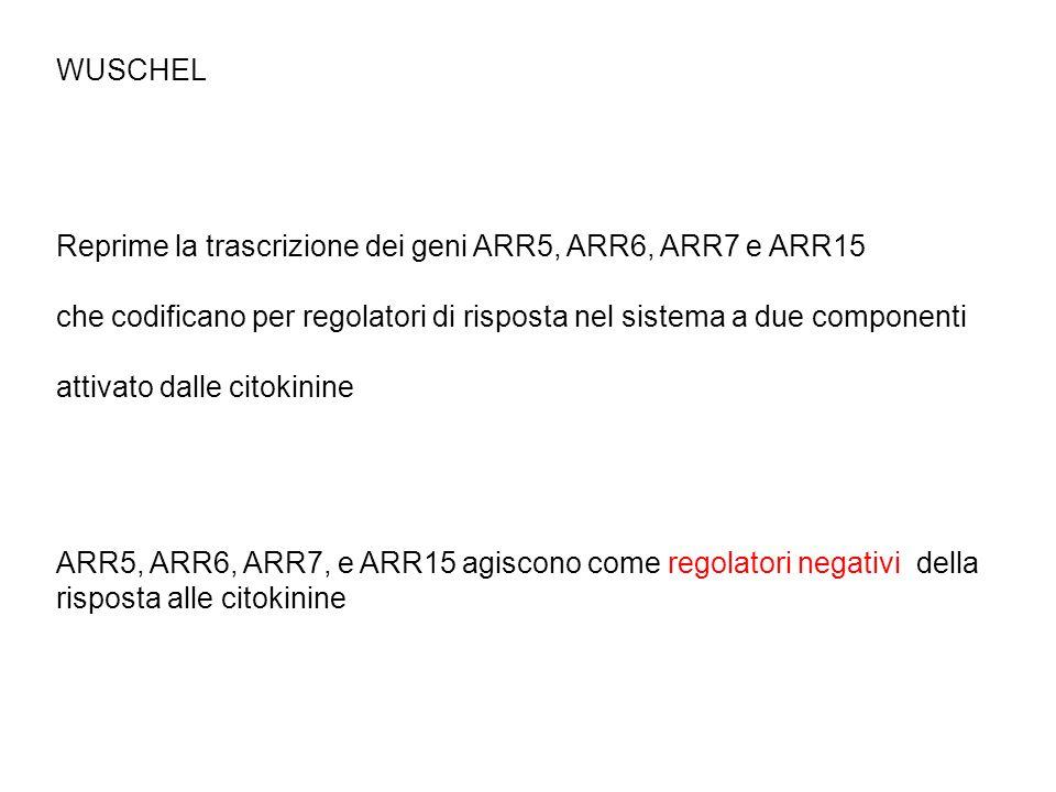 WUSCHEL Reprime la trascrizione dei geni ARR5, ARR6, ARR7 e ARR15 che codificano per regolatori di risposta nel sistema a due componenti attivato dall