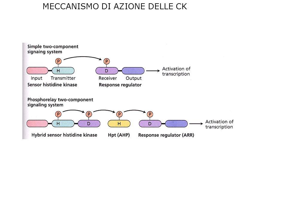 MECCANISMO DI AZIONE DELLE CK