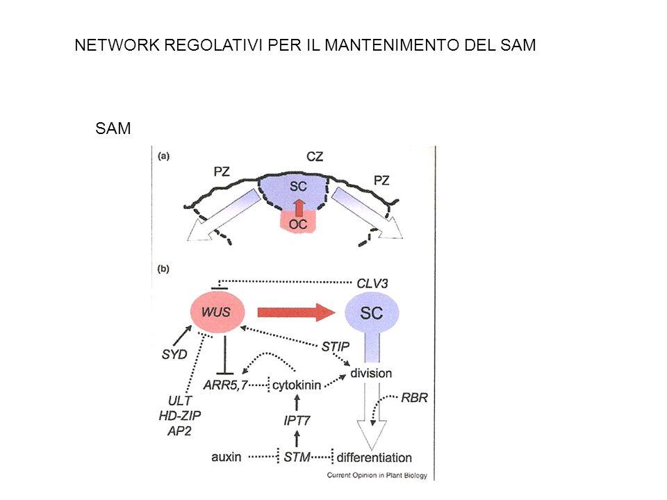 STIMPY (STIP/WOX9): necessario per laumento delle dimensioni del meristema nel mutante clv3-2 ULTRAPETALA HD-ZIP HANABA TARANU AP2 Regolatori negativi di WUS SPLAYED (SYD) : regolatore diretto di WUS (fattore di rimodellamento della cromatina) NETWORK REGOLATIVO DI WUS
