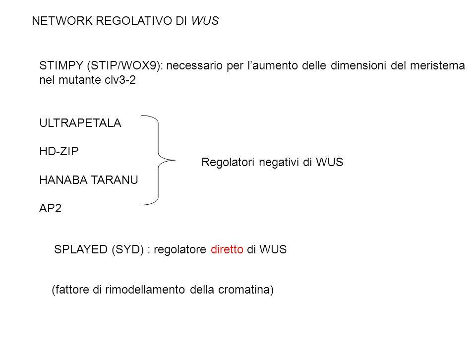STIMPY (STIP/WOX9): necessario per laumento delle dimensioni del meristema nel mutante clv3-2 ULTRAPETALA HD-ZIP HANABA TARANU AP2 Regolatori negativi