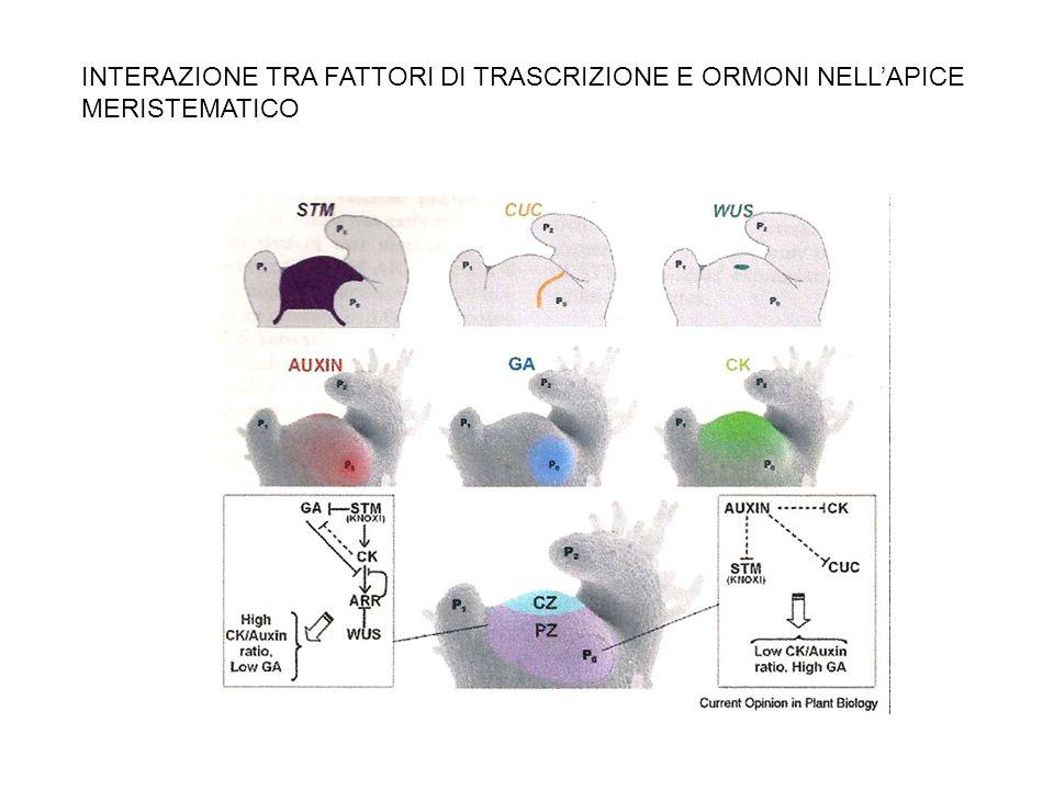INTERAZIONE TRA FATTORI DI TRASCRIZIONE E ORMONI NELLAPICE MERISTEMATICO