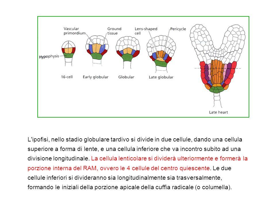 L'ipofisi, nello stadio globulare tardivo si divide in due cellule, dando una cellula superiore a forma di lente, e una cellula inferiore che va incon