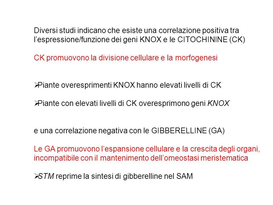 GA CK inibiscono la crescita del meristema mutanti spindly con ridotti livelli di CK (35S::AtCKX3) hanno bassa attività meristematica Wt spy-1 35S::AtCKX3 spy-1,35S::AtCKX3 spy-1 Spy-1,35S::AtCKX3 crescita determinata del meristema della infiorescenza wt spy-1 spy-1;AtCKX3 spindly: attivazione costitutiva GA signaling spy-1,35S::AtCKX3
