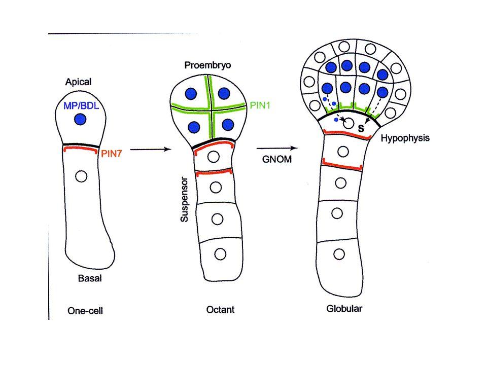 Trasporto di IAA nella radice Massima concentrazione di IAA nelle iniziali della columella
