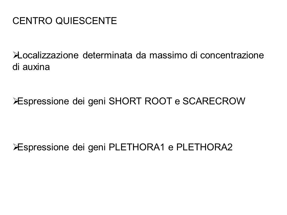 SHORT-ROOT (SHR) e SCARECROW (SCR) Necessarie per la formazione ed il mantenimento delle cellule staminali del CQ.