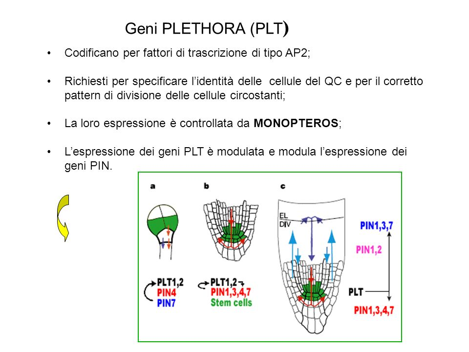 Mutanti plt1 e plt2 hanno alterazioni nel pattern di divisioni cellulari nel QC e nella columella Columella WT: 4 file di cellule la prima di staminali le altre differenziate (accumulo granuli di amido) Columella plt1: ulteriori file di cellule dovute ad aumento di divisioni nello strato 1 WT plt1-4plt2-2 plt1-4 plt2-2 QC PLETHORA