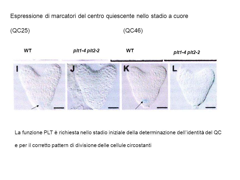 PLT1 e PLT2 agiscono in parallelo con i geni SHORT ROOT/SCARECROW nel pattern di specificazione del centro quiescente SCR e SHR necessari per lespressione dei marcatori del CQ (QC 25; QC46) I domini di espressione di PLT1 PLT2 e SHR/SCR si stabiliscono in maniera Indipendente wt plt1-4 plt2-2 Espressione di SHR::GFP wt plt1-4 plt2-2 Espressione di SCR::YFP