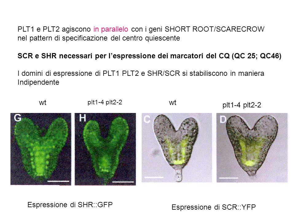 PLT1 e PLT2 agiscono in parallelo con i geni SHORT ROOT/SCARECROW nel pattern di specificazione del centro quiescente SCR e SHR necessari per lespress