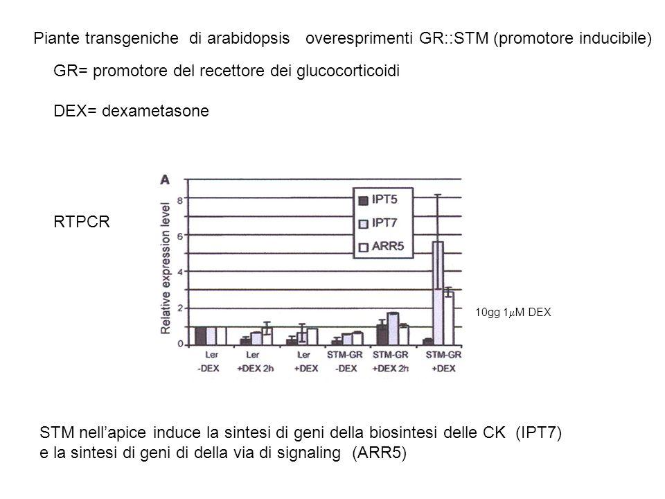 Piante transgeniche di arabidopsis overesprimenti STM (GR::STM) RTPCR STM nellapice induce lespressione di geni (GA 2 ossidasi) che inattivano le GA (da studi di espressione di GA 2 ossidasi in mutanti wol: effetto non diretto ma mediato da CK )