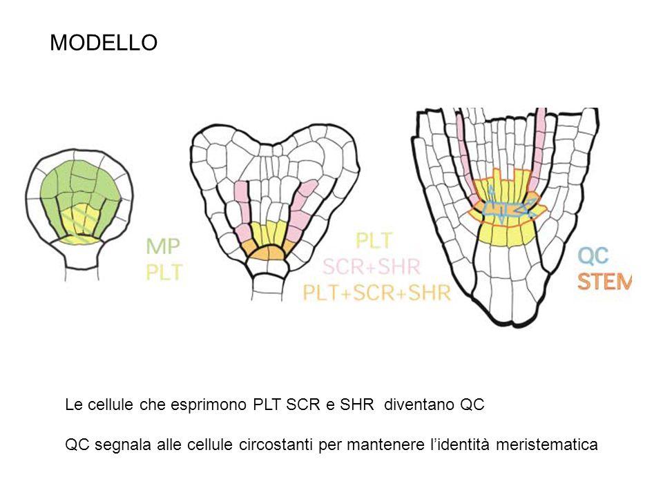 alterazione dei flussi auxinici rimodulazione della espressione dei geni PLT (SHR, SCR, PIN) rispecificazione del centro quiescente Esperimenti di ablazione con laser del centro quiescente DR5::GFP SCR SHR qc ablati