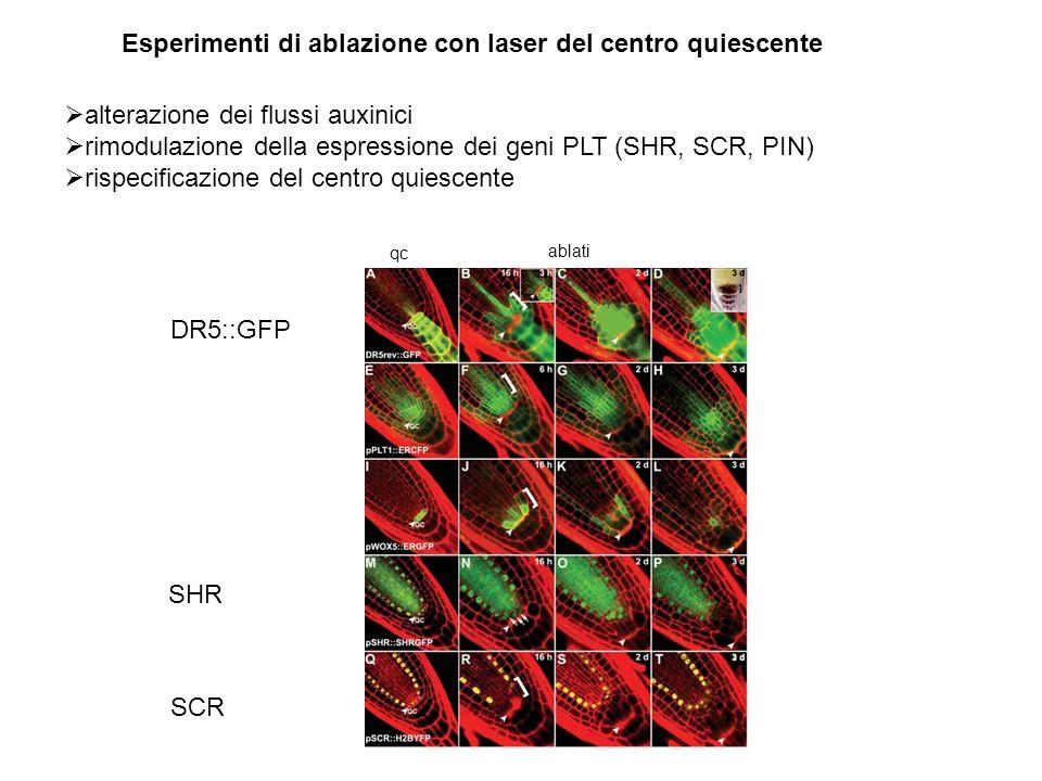 alterazione dei flussi auxinici rimodulazione della espressione dei geni PLT (SHR, SCR, PIN) rispecificazione del centro quiescente Esperimenti di abl