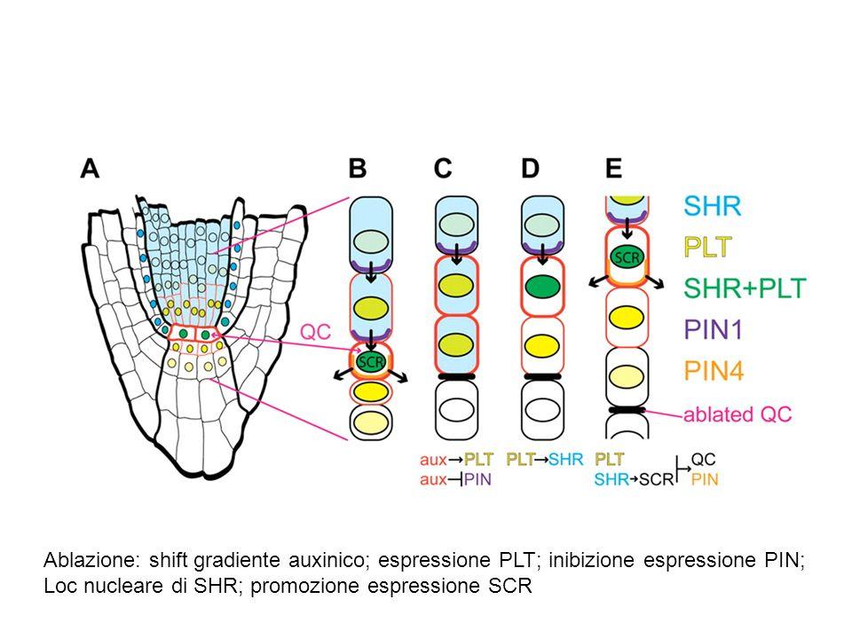 Ablazione: shift gradiente auxinico; espressione PLT; inibizione espressione PIN; Loc nucleare di SHR; promozione espressione SCR