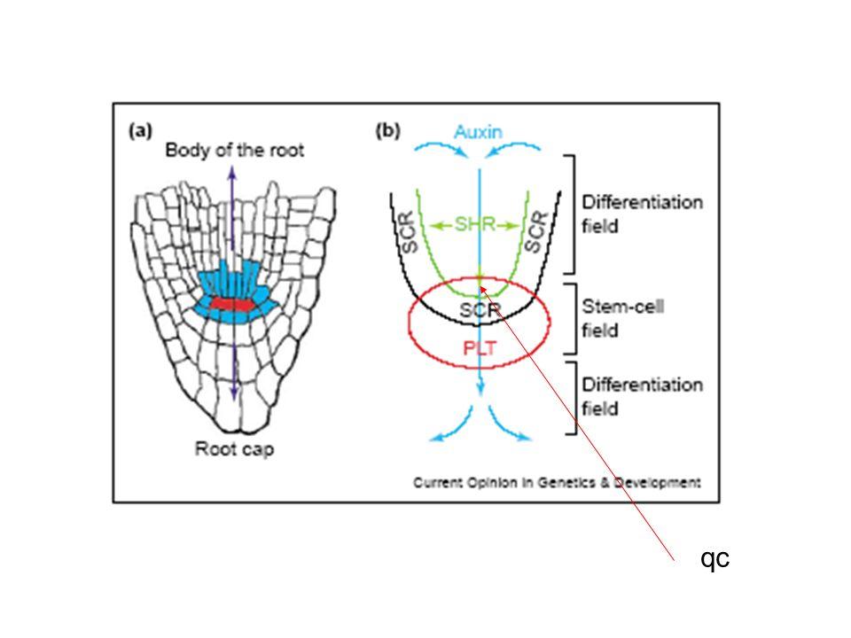 Network regolativo nel meristema della radice WOX5 è un omologo di WUSCHEL: contribuisce a mantenere le cellule del CQ in srtato indifferenziato