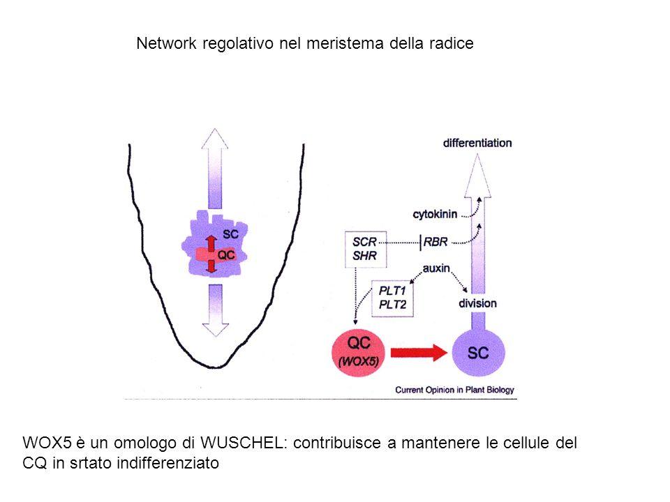 CK nel meristema radicale controllano la velocità di differenziamento delle cellule meristematiche della radice e quindi le dimensioni del meristema