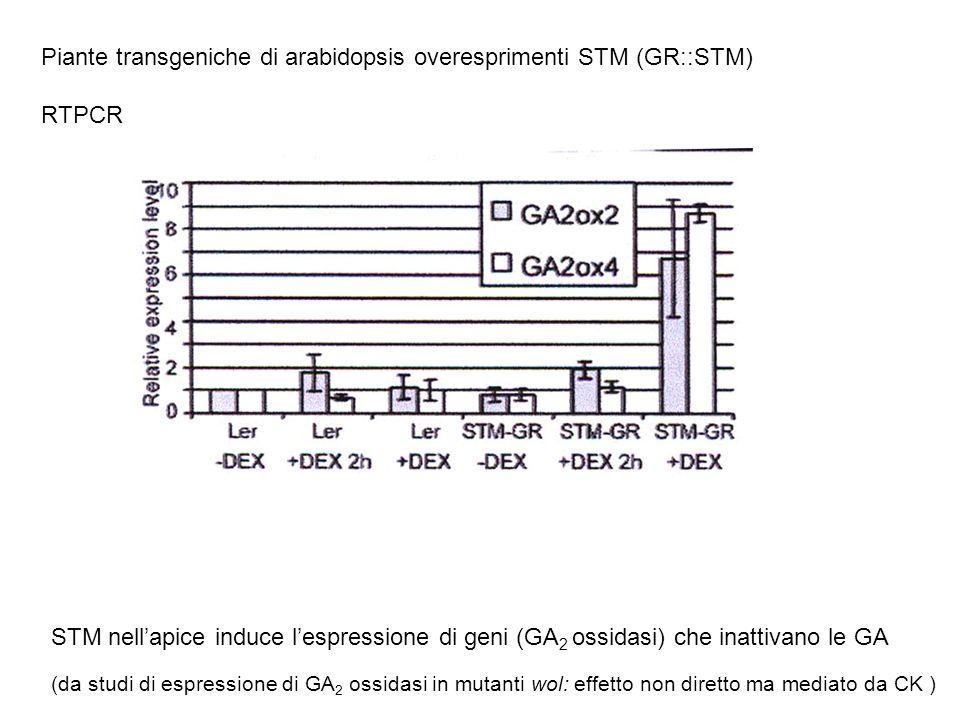 Piante transgeniche di arabidopsis overesprimenti STM (GR::STM) RTPCR STM nellapice induce lespressione di geni (GA 2 ossidasi) che inattivano le GA (