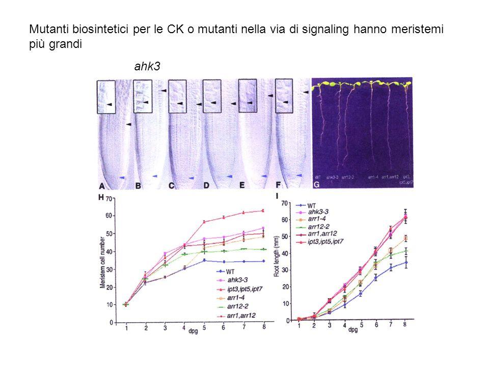 Mutanti biosintetici per le CK o mutanti nella via di signaling hanno meristemi più grandi ahk3