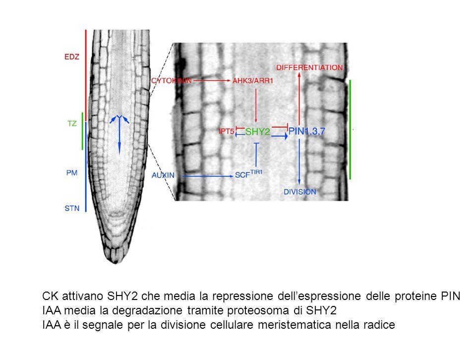 CK attivano SHY2 che media la repressione dellespressione delle proteine PIN IAA media la degradazione tramite proteosoma di SHY2 IAA è il segnale per