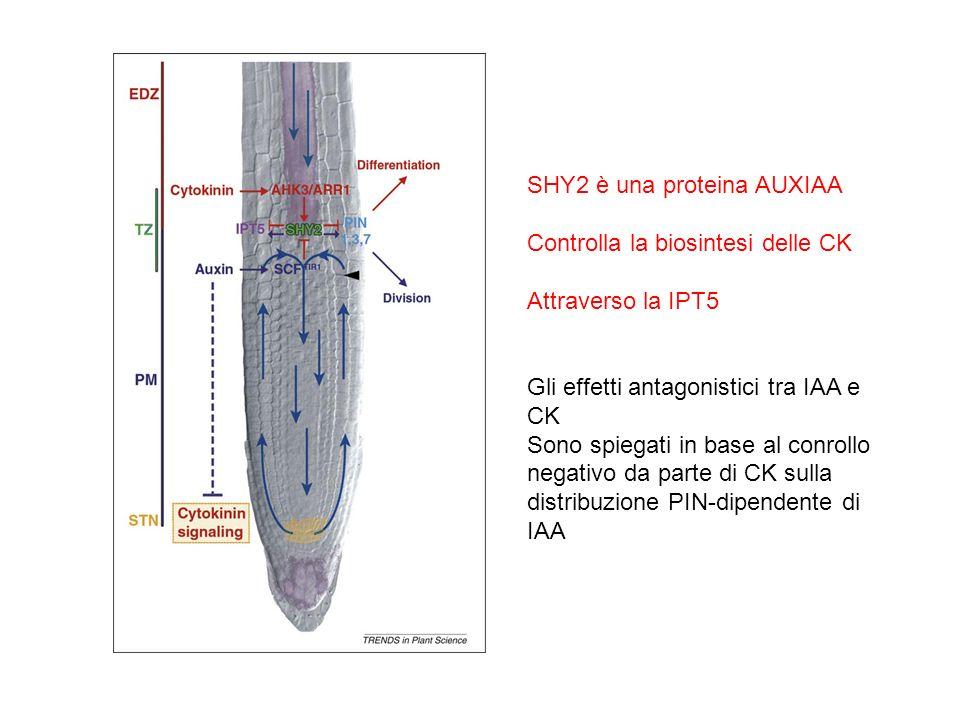 SHY2 è una proteina AUXIAA Controlla la biosintesi delle CK Attraverso la IPT5 Gli effetti antagonistici tra IAA e CK Sono spiegati in base al conroll