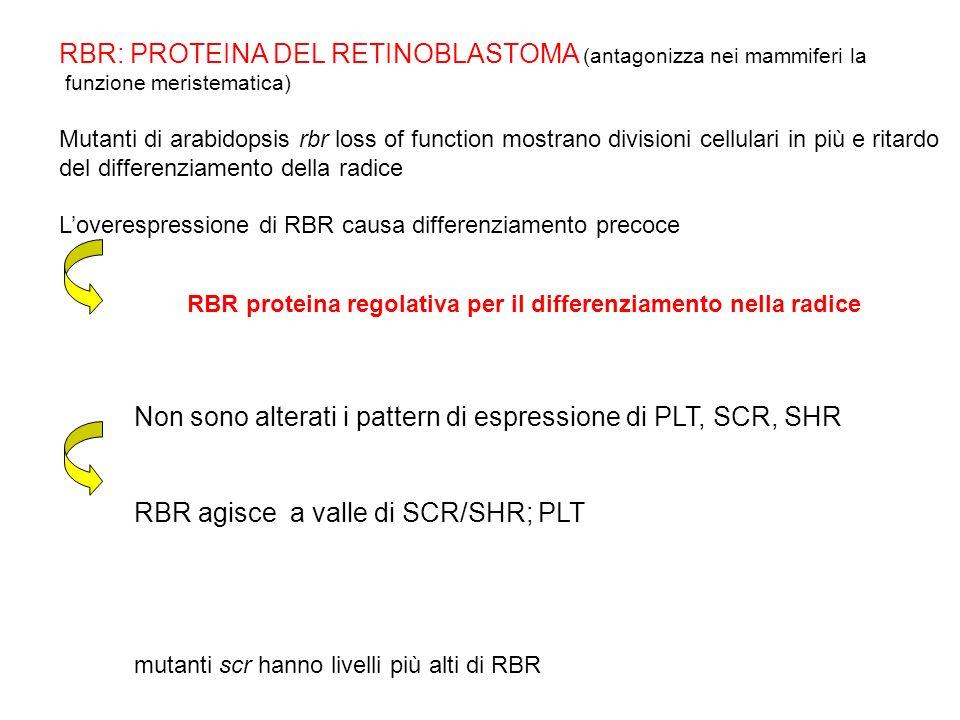 RBR: PROTEINA DEL RETINOBLASTOMA (antagonizza nei mammiferi la funzione meristematica) Mutanti di arabidopsis rbr loss of function mostrano divisioni