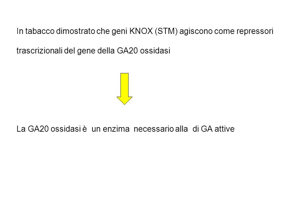 In tabacco dimostrato che geni KNOX (STM) agiscono come repressori trascrizionali del gene della GA20 ossidasi La GA20 ossidasi è un enzima necessario