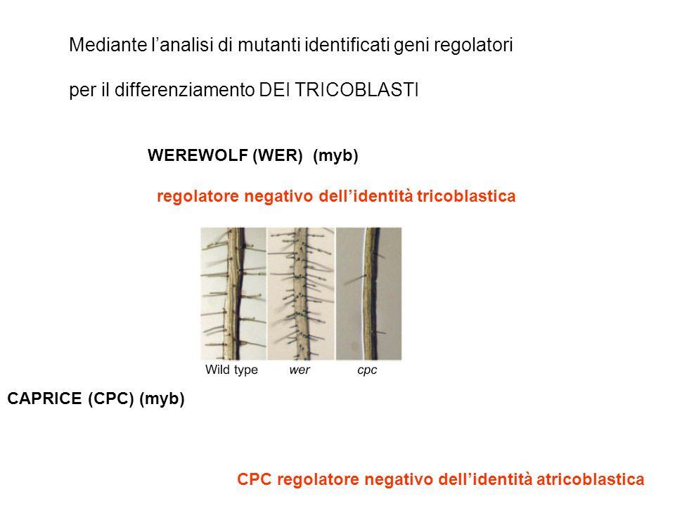 TTG1: TRANSPARENT TESTA GLABA1 GL3 : GLABRA3 (2) (1) EGL3: ENHANCER OF GLABRA3 SCM: SCRAMBLED CAPRICE: CPC