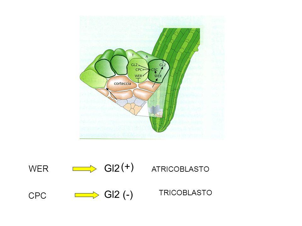 WER Gl2 CPC (+) Gl2 (-) ATRICOBLASTO TRICOBLASTO