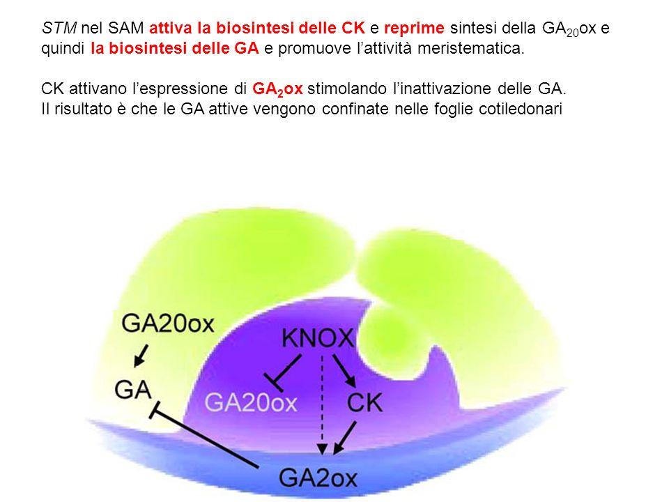 STM nel SAM attiva la biosintesi delle CK e reprime sintesi della GA 20 ox e quindi la biosintesi delle GA e promuove lattività meristematica. CK atti
