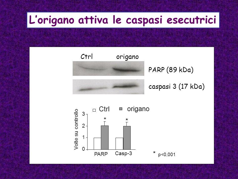 Lorigano attiva le caspasi esecutrici Ctrl origano PARP (89 kDa) caspasi 3 (17 kDa) PARP 0 2 1 3 Volte su controllo Casp-3 Ctrl origano * * * p<0,001