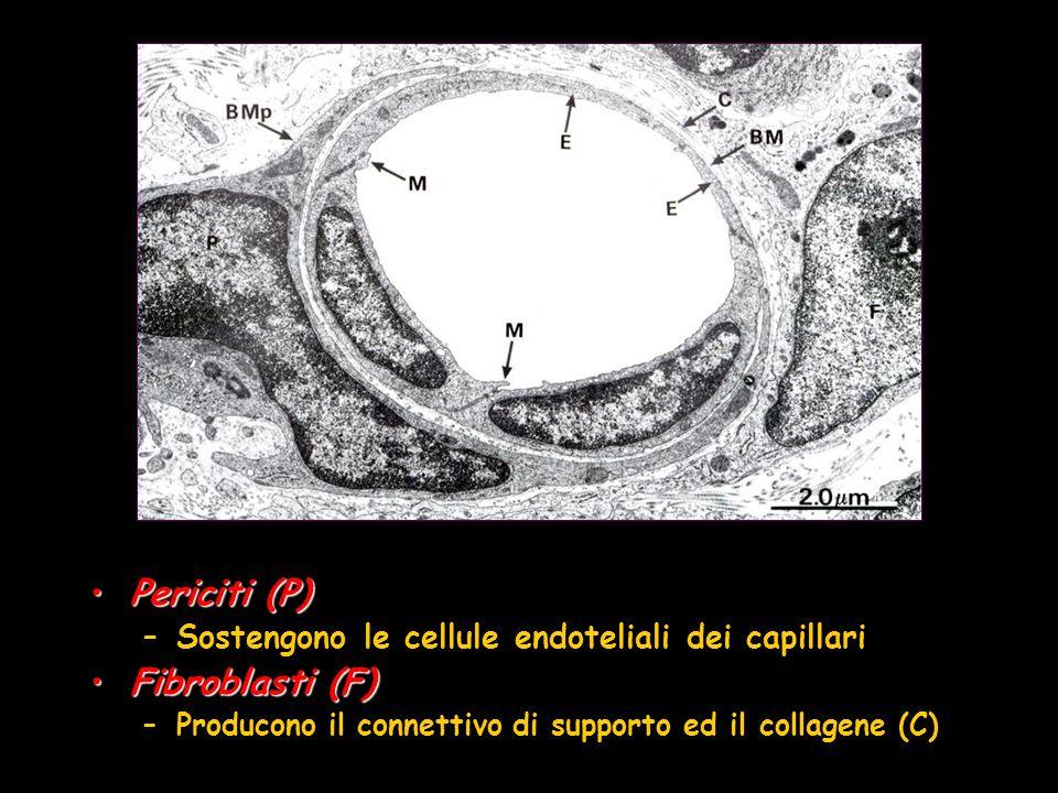 Periciti (P)Periciti (P) –Sostengono le cellule endoteliali dei capillari Fibroblasti (F)Fibroblasti (F) –Producono il connettivo di supporto ed il co