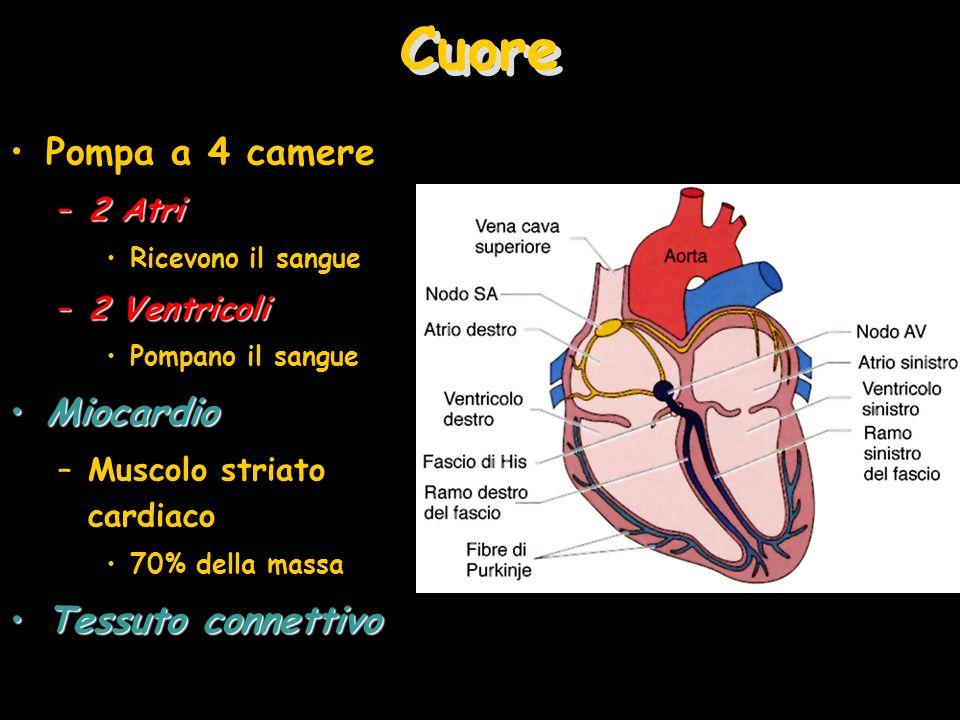 Cuore Pompa a 4 camere –2 Atri Ricevono il sangue –2 Ventricoli Pompano il sangue MiocardioMiocardio –Muscolo striato cardiaco 70% della massa Tessuto