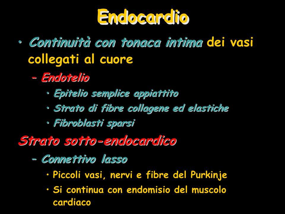 Endocardio Continuità con tonaca intimaContinuità con tonaca intima dei vasi collegati al cuore –Endotelio Epitelio semplice appiattitoEpitelio sempli