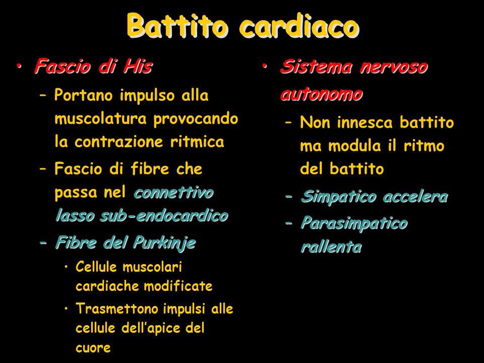 Battito cardiaco Fascio di HisFascio di His –Portano impulso alla muscolatura provocando la contrazione ritmica connettivo lasso sub-endocardico –Fasc