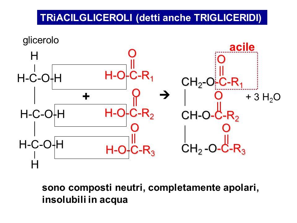 TRiACILGLICEROLI (detti anche TRIGLICERIDI)O H-O-C-R 3 O H-O-C-R 1 O H-O-C-R 2 H-C-O-H H H + glicerolo CH 2 -O-C-R 1 CH-O-C-R 2 CH 2 -O-C-R 3 O O O +