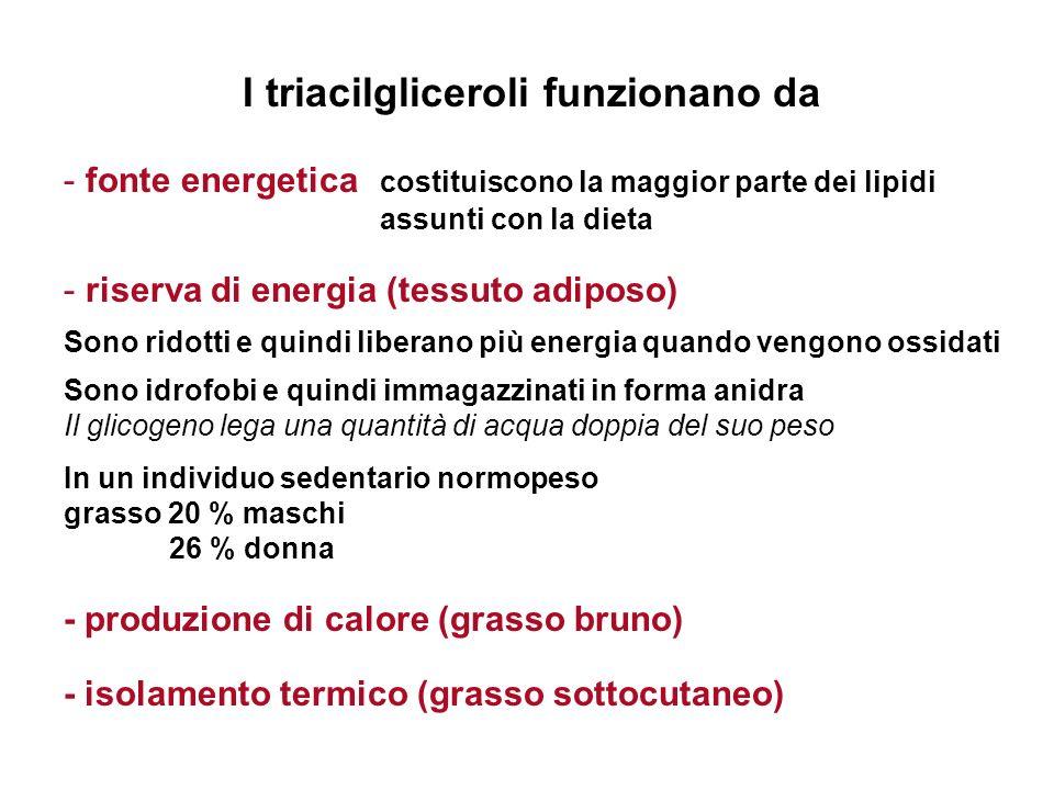 I triacilgliceroli funzionano da - fonte energetica costituiscono la maggior parte dei lipidi assunti con la dieta - riserva di energia (tessuto adipo