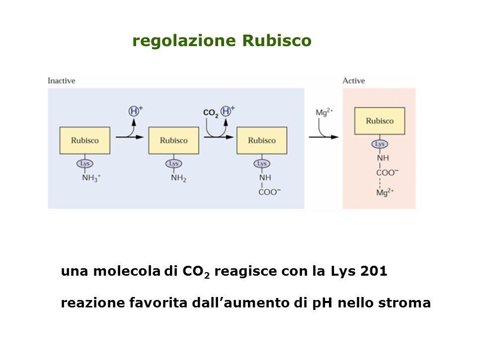 40% della frazione proteica totale delle foglie nello stroma [rubisco] = 4 mM 500 volte [CO 2 ]