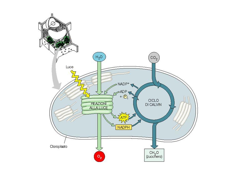 Alcuni enzimi del ciclo di Calvin sono attivi solo alla luce gliceraldeide 3-fosfato deidrogenasi fruttosio 1,6-bisfosfatasi sedoeptuloso 1,7-bisfasfatasi Rubisco attivasi inattivo attivo