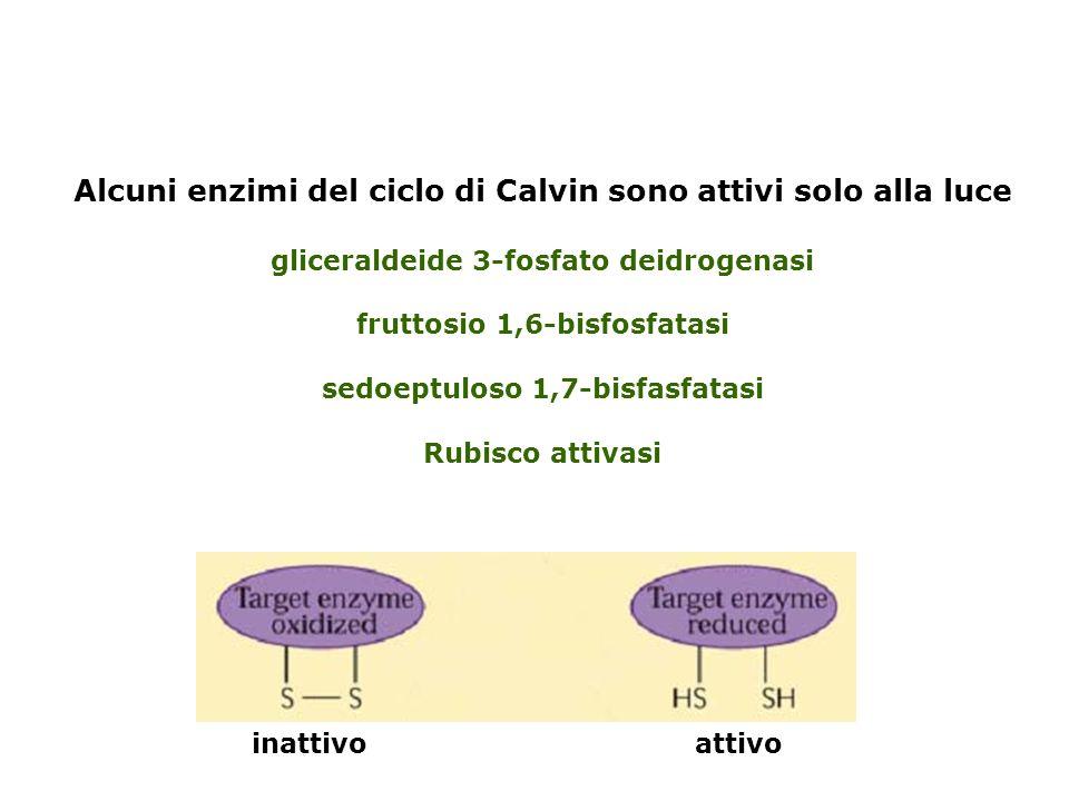 La Rubisco può catalizzare anche la ossigenazione del Ribulosio 1,5 bisfosfato