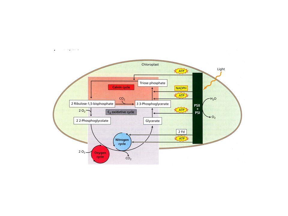 il ciclo PCO (photorespiratory carbon oxidation) recupera parte del carbonio perduto nella reazione di ossigenazione del ribulosio 1,5-bisfosfato