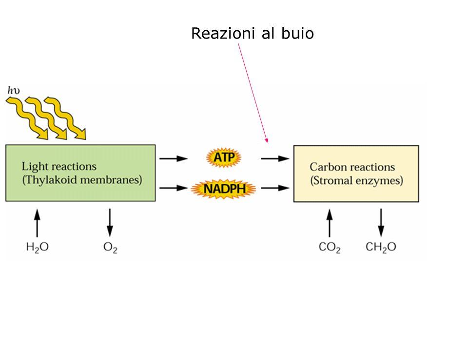 A 25° Carbossilazione: ossigenazione = 3:1