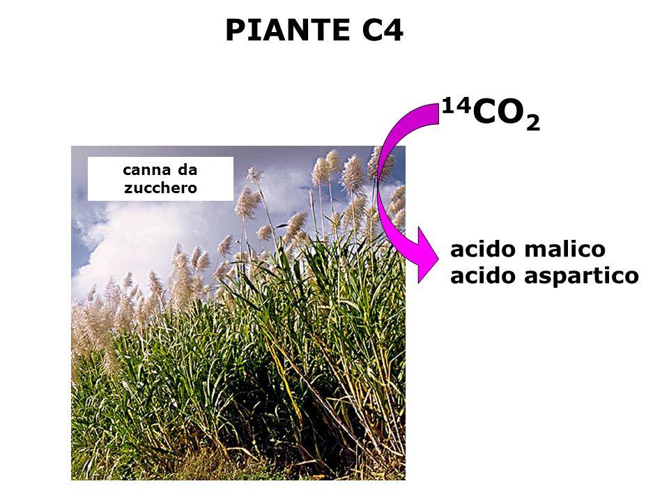 cosa succede quando la temperatura aumenta? legge di Henry [gas] µM = P gas x x A 35° Carbossilazione: ossigenazione = 1:1