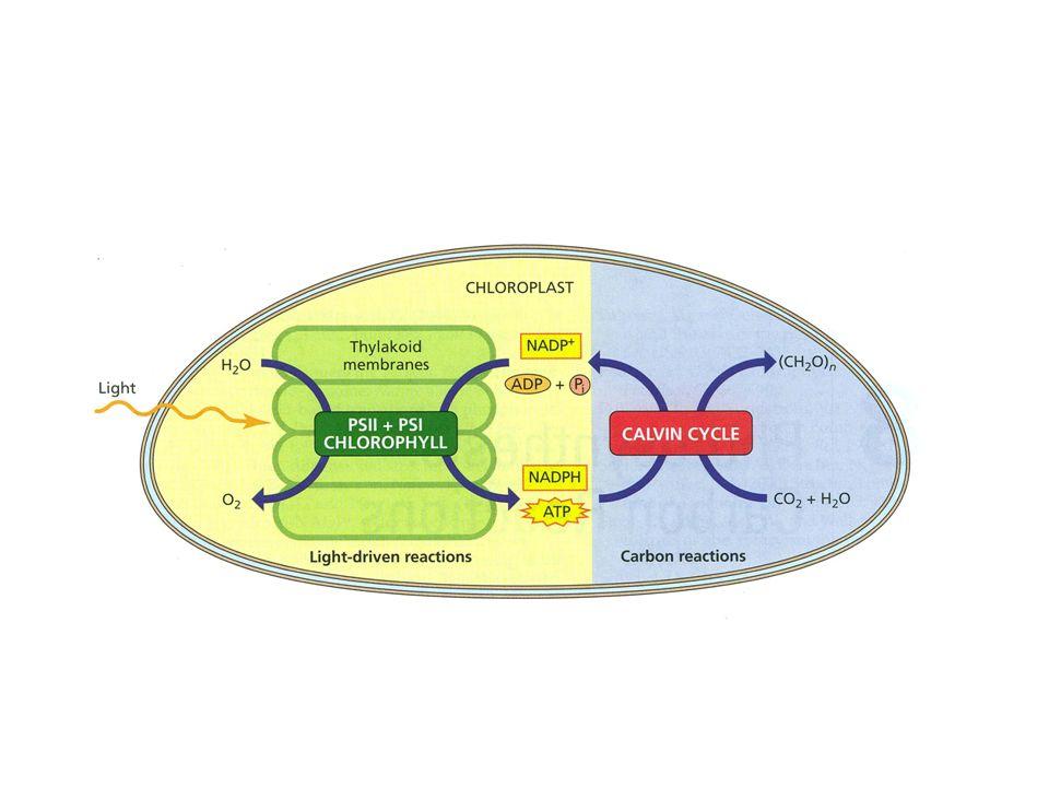 anni 20 lO 2 inibisce la fotosintesi in Chlorella [O 2 ] 21% 42% -50% velocità fotosintesi [O 2 ] 21% 2% +100% velocità fotosintesi LA FOTORESPIRAZIONE