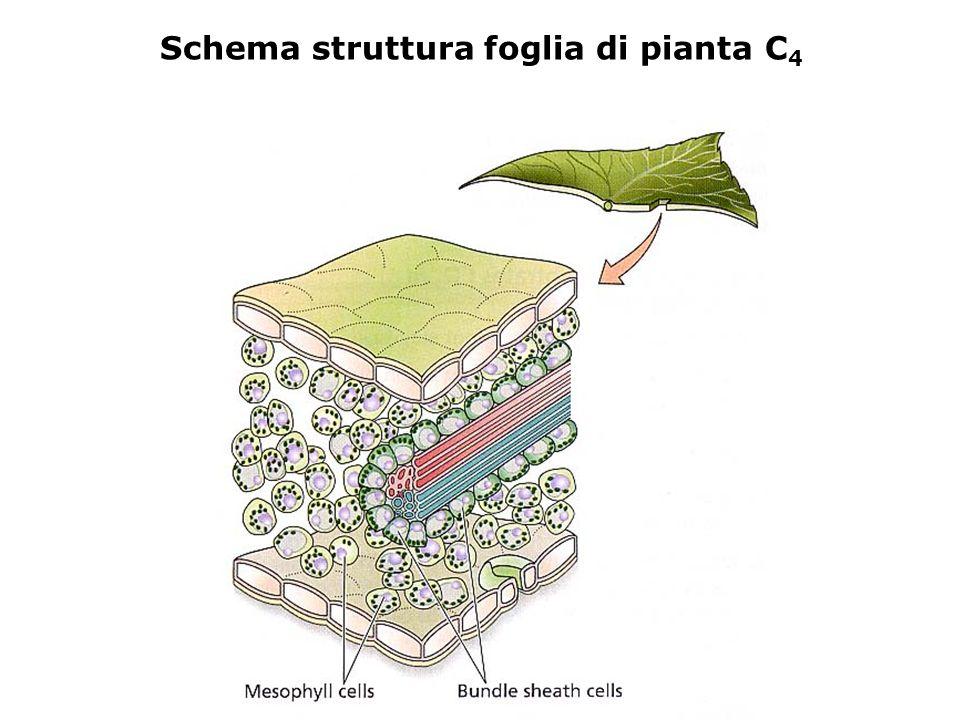le cellule della guaina del fascio e quelle del mesofillo sono in comunicazione tramite i plasmodesmi