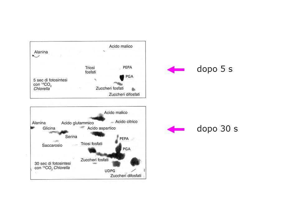 CICLO DI CALVIN ciclo riduttivo dei pentosi fosfati, RPP riduzione fotosintetica del carbonio, PCR Chlorella 14 CO 2 analisi intermedi marcati