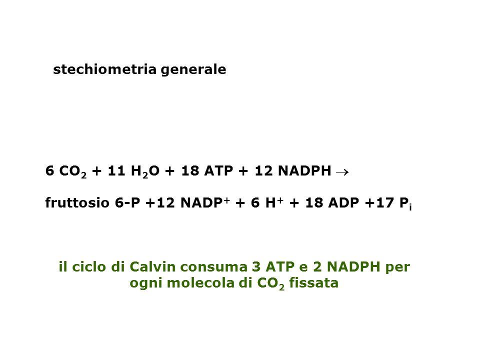 stechiometria generale 6 CO 2 + 11 H 2 O + 18 ATP + 12 NADPH fruttosio 6-P +12 NADP + + 6 H + + 18 ADP +17 P i il ciclo di Calvin consuma 3 ATP e 2 NADPH per ogni molecola di CO 2 fissata