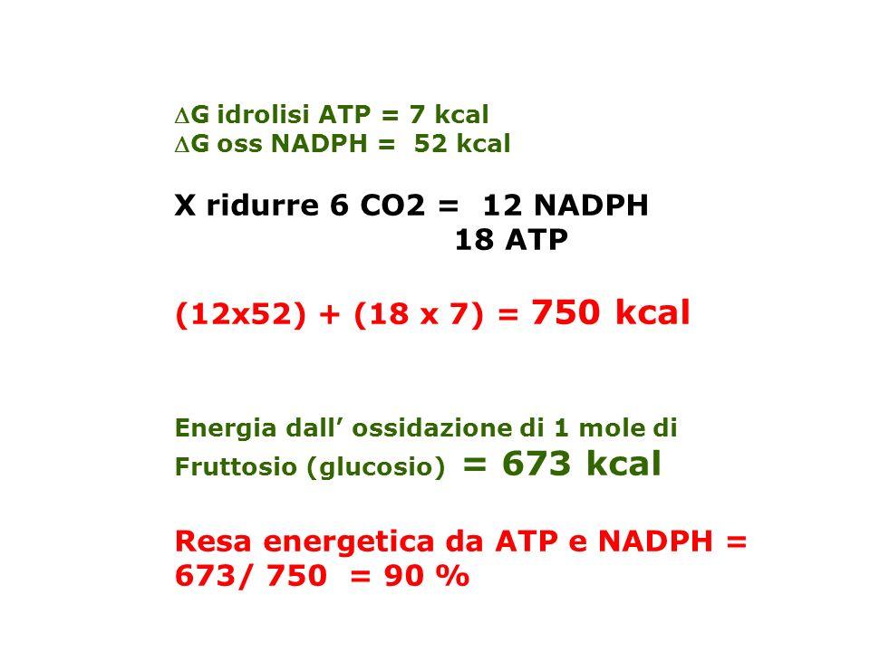 G idrolisi ATP = 7 kcal G oss NADPH = 52 kcal X ridurre 6 CO2 = 12 NADPH 18 ATP (12x52) + (18 x 7) = 750 kcal Energia dall ossidazione di 1 mole di Fruttosio (glucosio) = 673 kcal Resa energetica da ATP e NADPH = 673/ 750 = 90 %