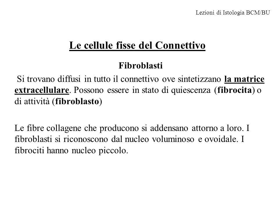 fibroblasti Lezioni di Istologia BCM/BU Cellule endotelialiCapillare con emazie fibroblasti fibre Sostanza fondamentale