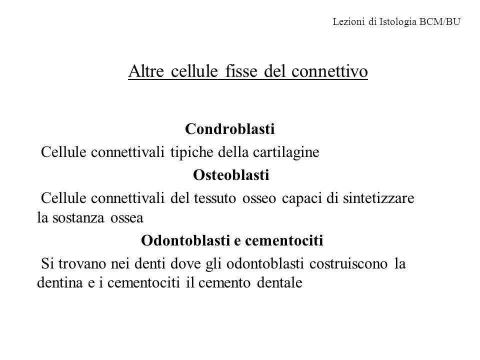 Composizione sostanza fondamentale La sostanza fondamentale è composta da: glicosaminoglicani (lunghi polimeri lineari di unità formate da due zuccheri solforati, lacido ialuronico è un eccezione poiché non è solforato) proteoglicani (formati da un asse proteico sul quale si legano i glicosaminoglicani, nella cartilagine formano la matrice gelificata poiché legati allacido ialuronico) glicoproteine (sono localizzate nella membrana basale come la laminina o sparse nella matrice come la fibronectina.