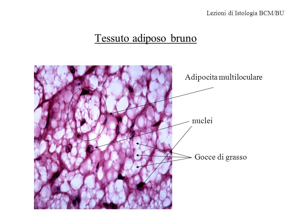 Altre cellule fisse del connettivo Cellule reticolari Formano il tessuto reticolare (connettivo lasso) che costituisce limpalcatura dei linfonodi, midollo osseo, muscolo liscio, e ghiandole endocrine e esocrine.