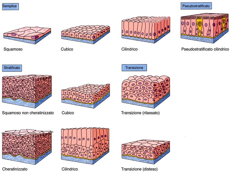 Giunzioni Cellulari (rivedete la lezione di citologia)