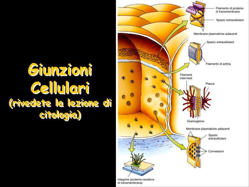 Membrana Basale Supporto strutturale –Adesione cellula/matrice Permette ai nutrienti ed agli scarti di diffondere Filtro per le macromolecole (rene) Zona di differenziamento e polarizzazione delle cellule Nella rigenerazione funziona da autostrada per la migrazione cellulare